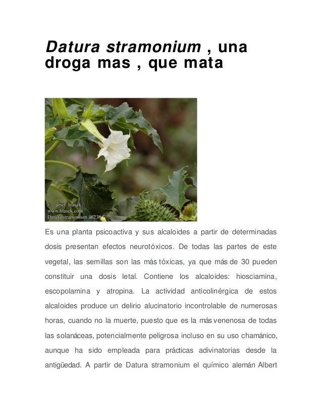 Datura stramonium , una  droga mas , que mata  Es una planta psicoactiva y sus alcaloides a partir de determinadas  dosis ...