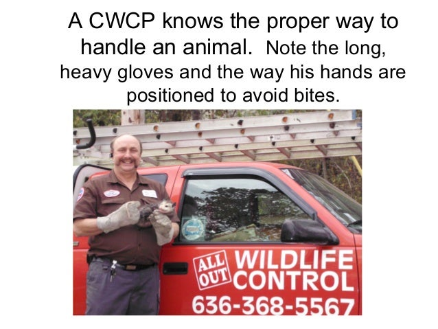 A CWCP knows the proper way to handle an animal. Note the long,heavy gloves and the way his hands are       positioned to ...