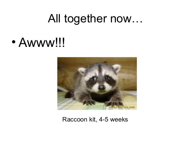 All together now…• Awww!!!        Raccoon kit, 4-5 weeks