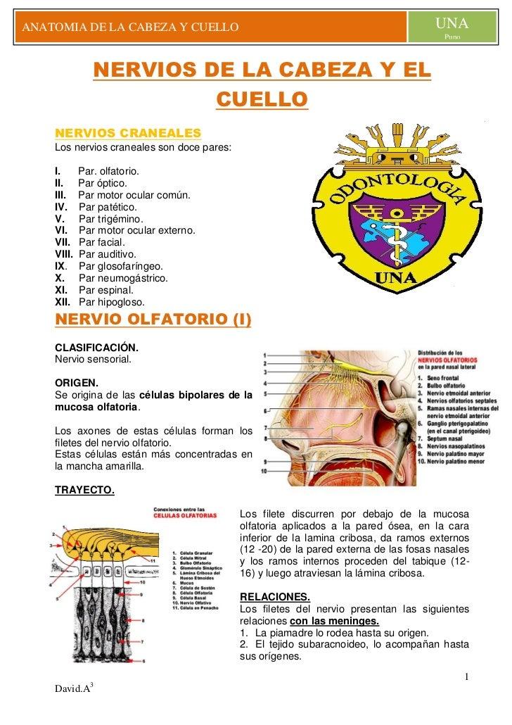 NERVIOS DE LA CABEZA Y EL CUELLO