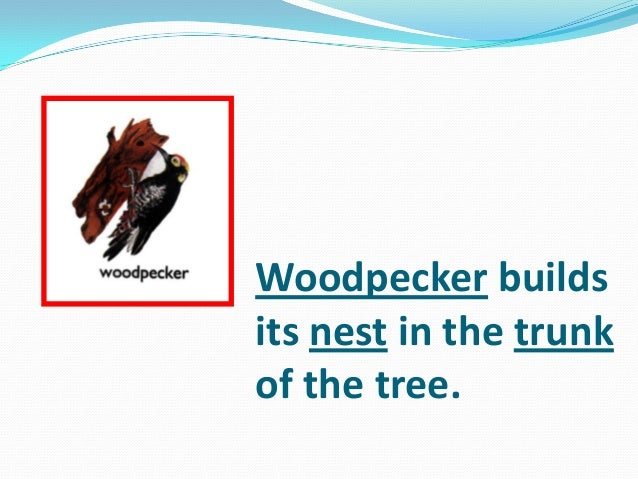 Woodpecker builds its nest in the trunk of the tree.