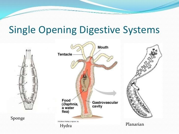 digestion of hydra
