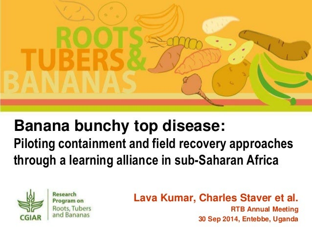 Banana bunchy top disease: Piloting containment and field recovery ap…