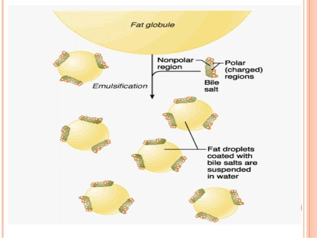 pancreatic lipase digestion of fats and the action bile How does it works: bile salts or bile juice creates an alkaline medium in small intestine for the action of enzymes named pepsin and trypsin which are used for digestion of protien also bile juice convert big fat molecules into smaller molecules for the action of lypase on fat:.