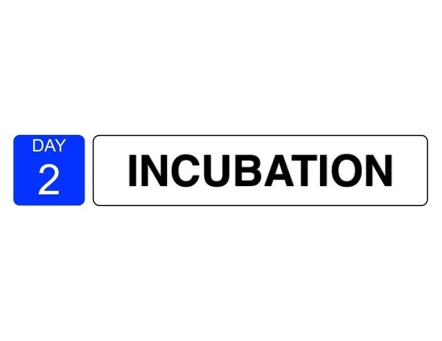 DAY 2 INCUBATION