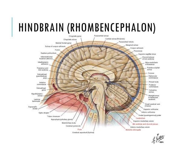 Anatomy of the Brain