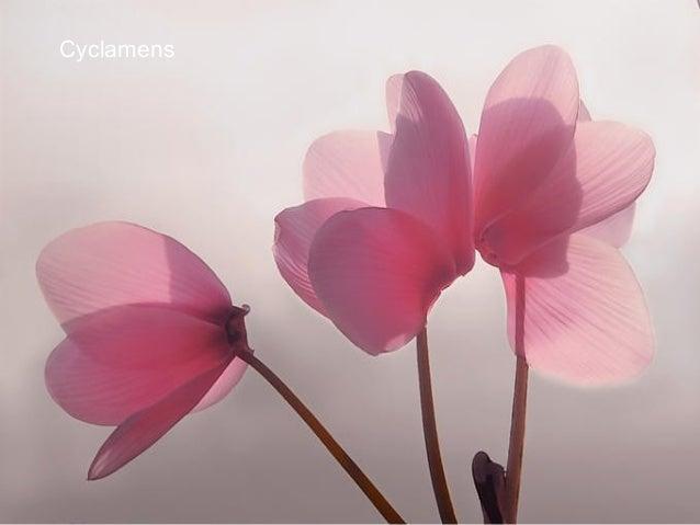 Rosas y Sombra