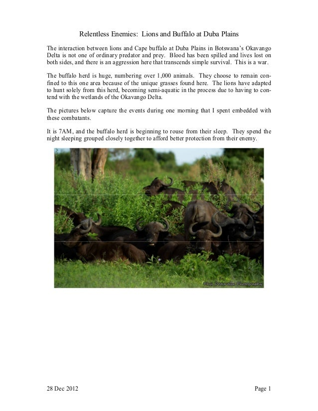 Relentless Enemies: Lions and Buffalo at Duba PlainsThe interaction between lions and Cape buffalo at Duba Plains in Botsw...