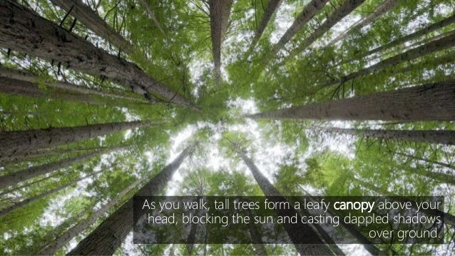 As you walk tall trees form a leafy canopy above your head blocking the ... & Deciduous biome