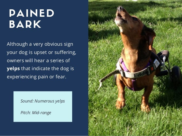Although a very obvious sign your dog is upset or suffering, owners will hear a series of yelps that indicate the dog is e...