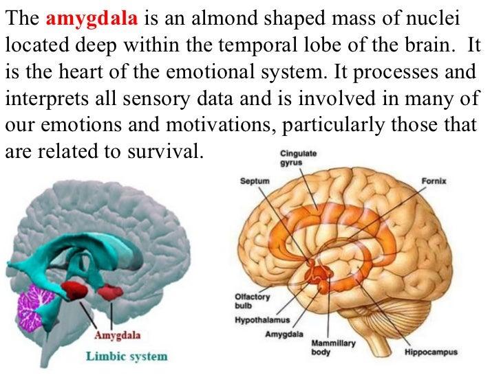 Deep Brain Structures