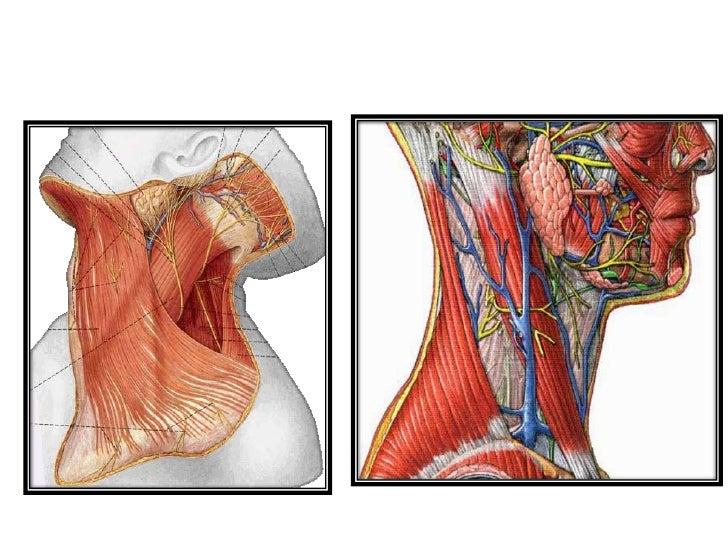 Deep Cervical Fascia Fascia Colli