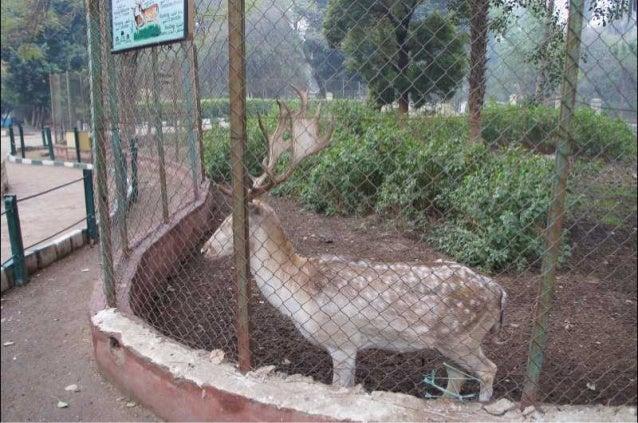 The Egyptian Deer