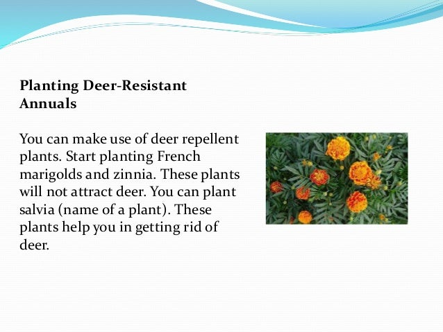 Natural home remedies for deer control - How to keep deer out of garden home remedies ...