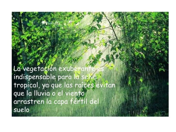 La vegetación exuberante es indispensable para la selva tropical, ya que las raíces evitan que la lluvia o el viento arras...