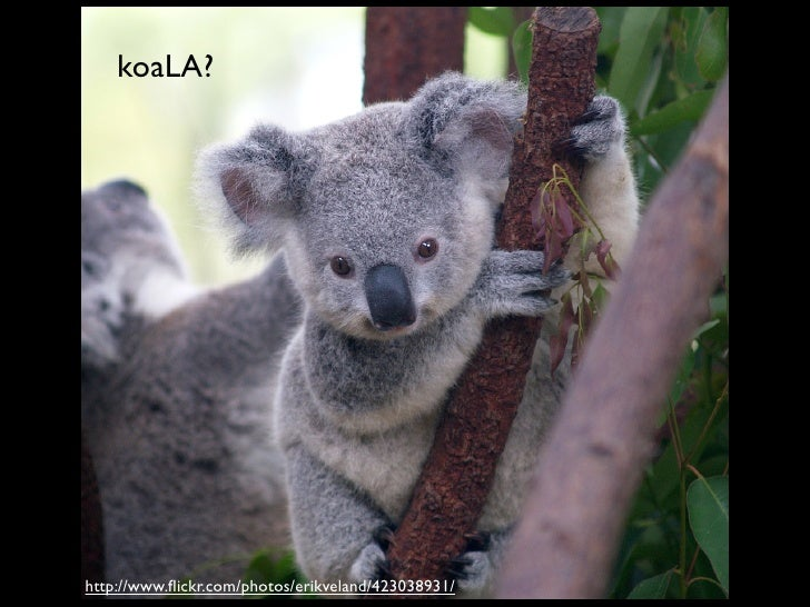 koaLA?     http://www.flickr.com/photos/erikveland/423038931/
