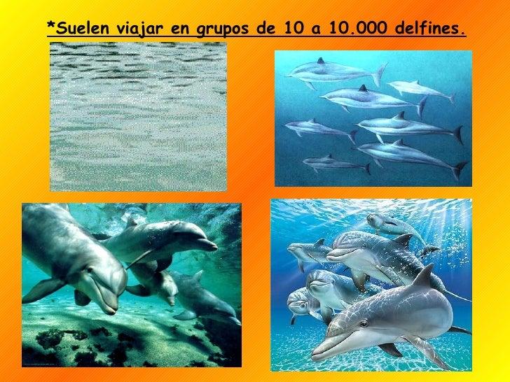*Suelen viajar en grupos de 10 a 10.000 delfines.