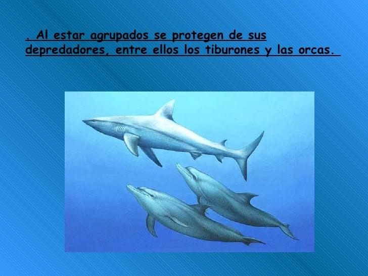 . Al estar agrupados se protegen de sus depredadores, entre ellos los tiburones y las orcas.
