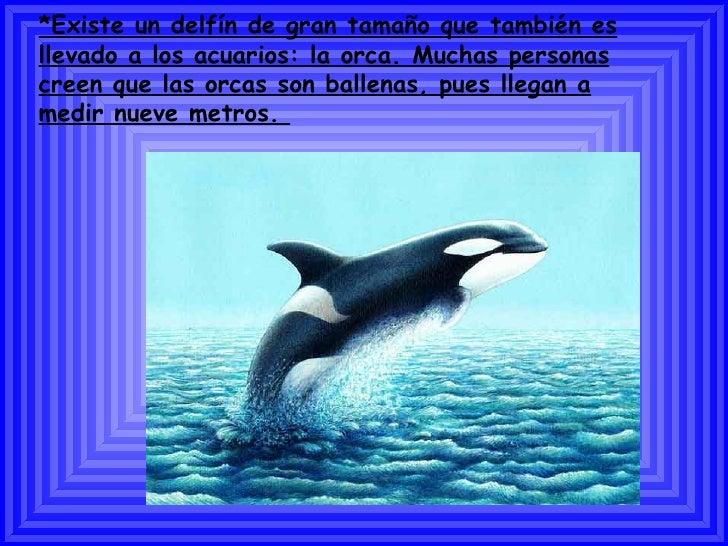 *Existe un delfín de gran tamaño que también es llevado a los acuarios: la orca. Muchas personas creen que las orcas son b...
