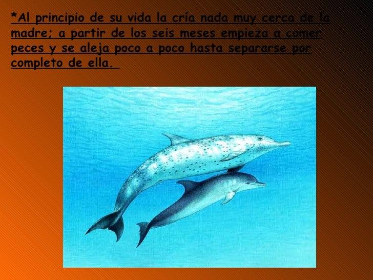 *Al principio de su vida la cría nada muy cerca de la madre; a partir de los seis meses empieza a comer peces y se aleja p...