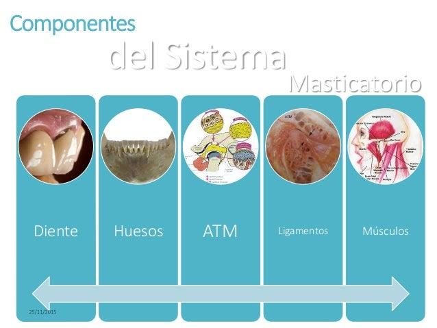 biomecanica del sistema masticatorio Slide 3