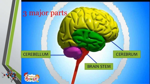 Nervous System (Parts of Brain)