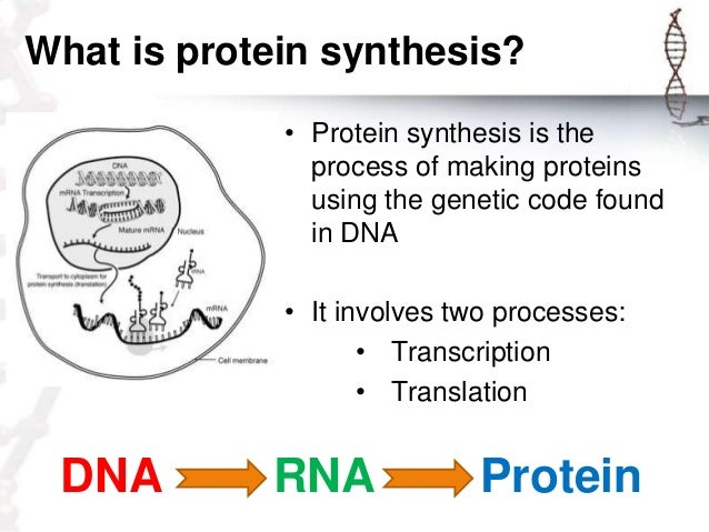 process of protein synthesis The dna of the cell contains the blueprints for all the proteins in the body these  blueprints become proteins with the help of rna and.