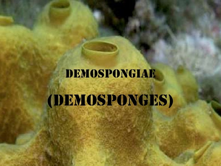 Demospongiae Demosponges