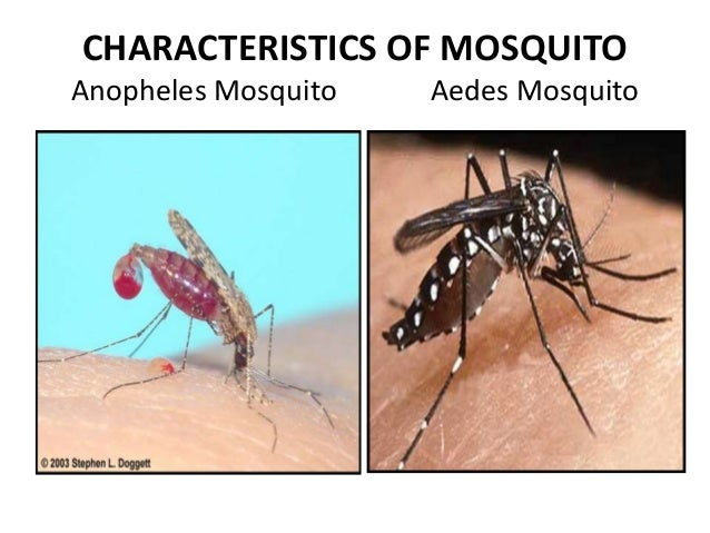 Image Result For Life Cycle Of Mosquito Aedes Aegypti