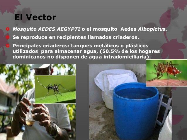El Vector  Mosquito AEDES AEGYPTI o el mosquito Aedes Albopictus.  Se reproduce en recipientes llamados criaderos.  Pri...