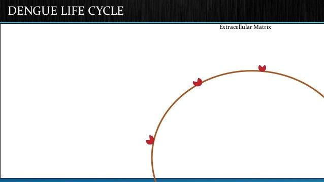 DENGUE LIFE CYCLE  Extracellular Matrix