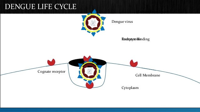 DENGUE LIFE CYCLE  Cognate receptor  Dengue virus  Extracellular Space  ERnecdeopctyotro Bsiisnding  Cell Membrane  Cytopl...