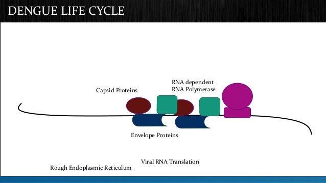 DENGUE LIFE CYCLE  Cytoplasm  Envelope Proteins  Viral RNA Translation  Capsid Proteins  RNA dependent  RNA Polymerase  Ro...