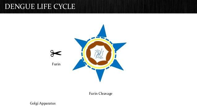 DENGUE LIFE CYCLE  Golgi Apparatus  Furin Cleavage  Furin