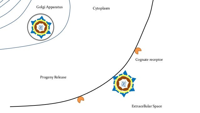 Golgi Apparatus Cytoplasm  Cognate receptor  Extracellular Space  Molecular Structure  • External Structure : icosahedral ...