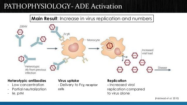 PATHOPHYSIOLOGY- ADE Activation  Main Result: Increase in virus replication and numbers  Heterotypic antibodies  - Low con...