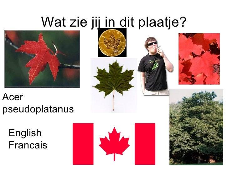 Wat zie jij in dit plaatje? Acer pseudoplatanus English Francais