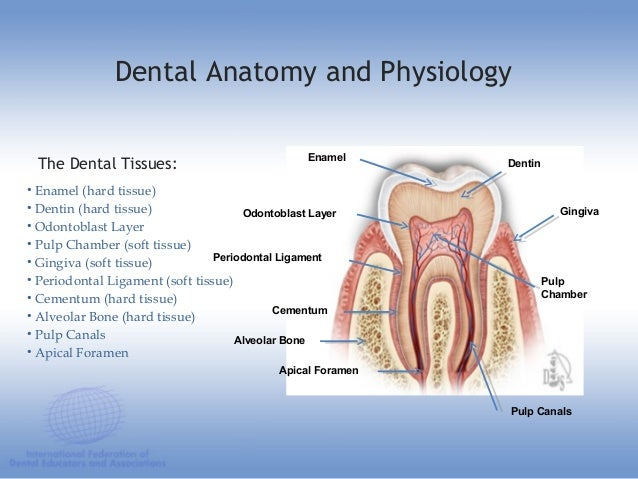 Dental anatomy educational teaching resource