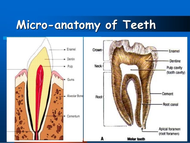 Dental anatomy of teeth