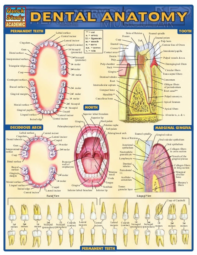 Dental Anatomy Referenceguide