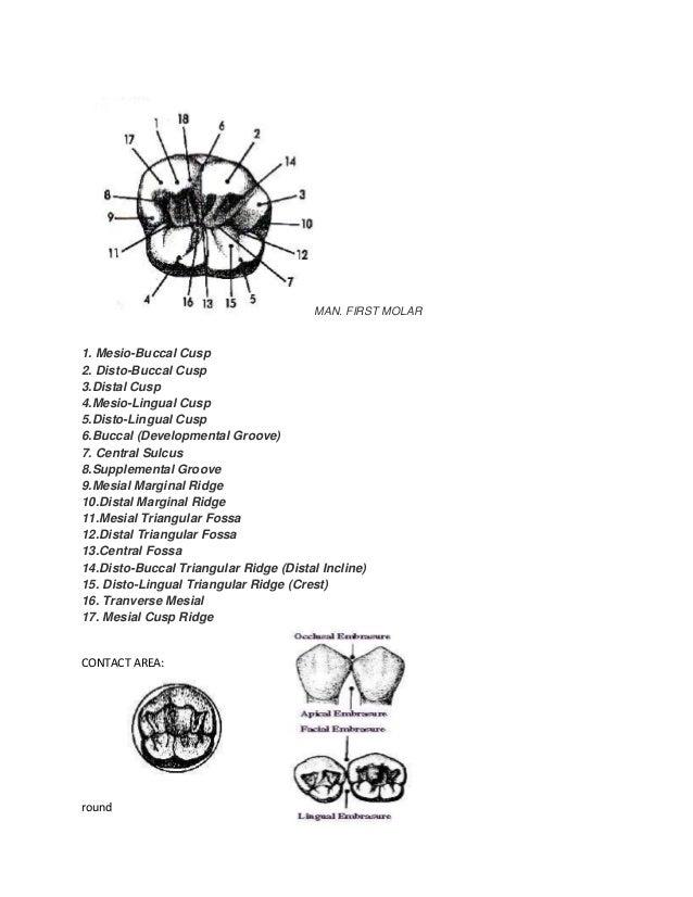 Dental anatomy terms