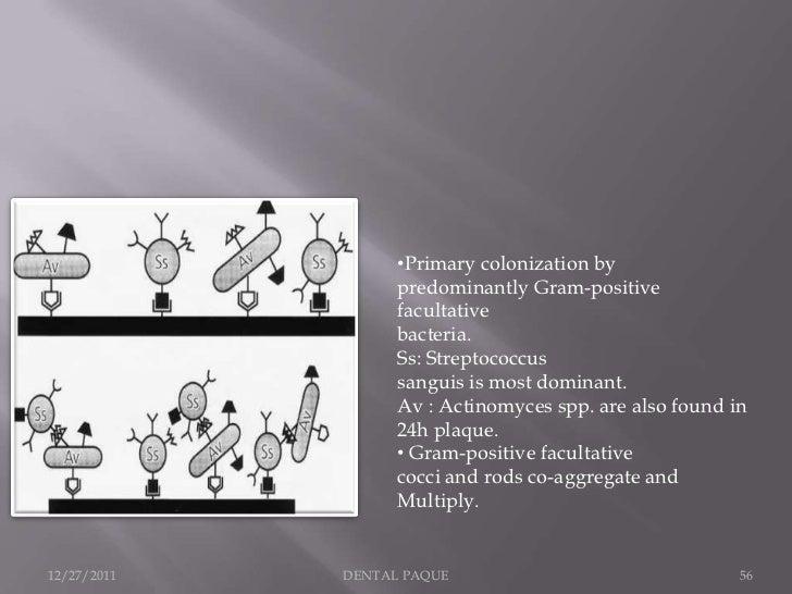 •Primary colonization by                   predominantly Gram-positive                   facultative                   bac...