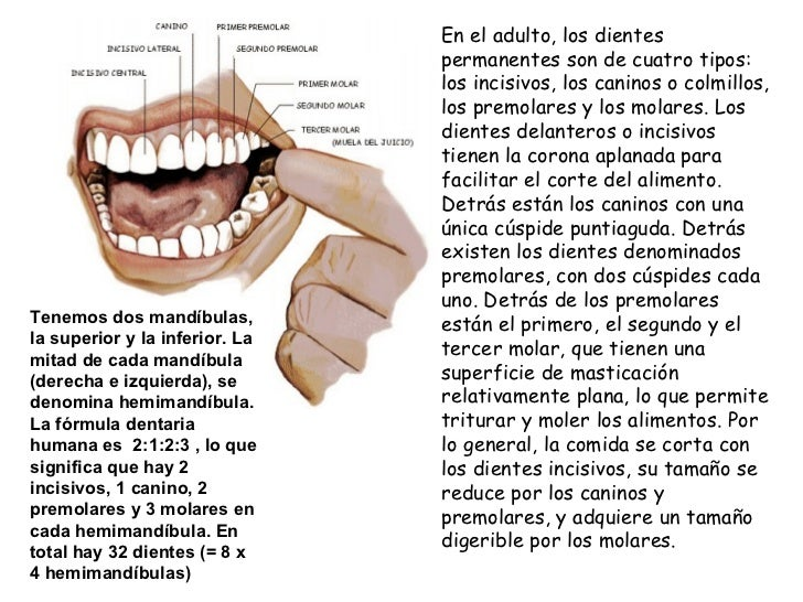 La dentición humana