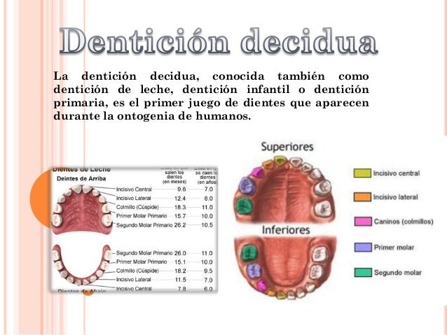 La dentición decidua, conocida también comodentición de leche, dentición infantil o denticiónprimaria, es el primer juego ...