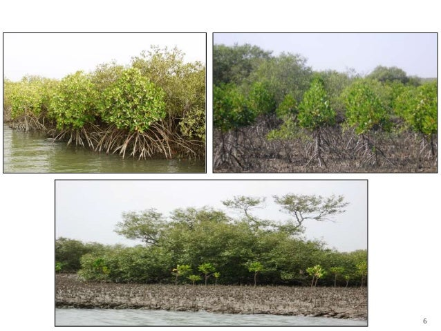 depletion and consequences of mangrove forests Mangrove & coral destruction  mangroves are lost because of clearing for development, logging, and shrimp farming  and other groups are discovering how forest.