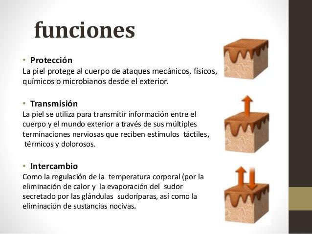MAQUETAS ANATOMICAS ESTATICAS Y FUNCIONALES. : MAQUETA DE LA PIEL