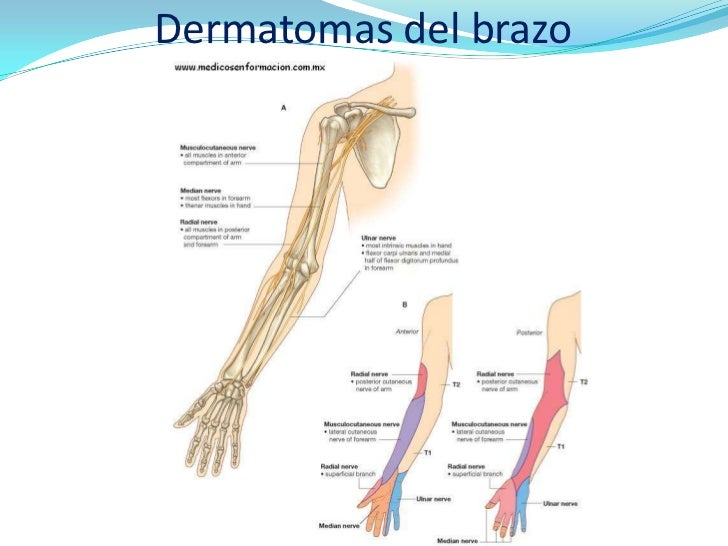 Dermatomas brazo