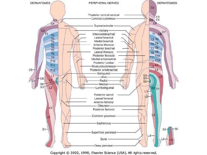 Myotomes And Dermatomes Yun56 Co
