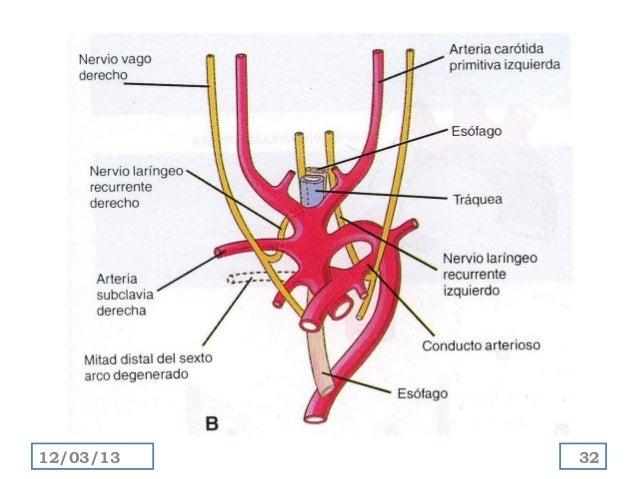 Desarrollo de arterias y venas