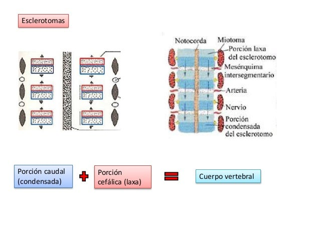 Resultado de imagen para formacion de la columna vertebral embriologia